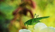 Free Grasshopper Stock Photo - 6410020
