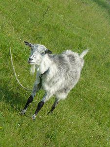 Free Goat Royalty Free Stock Photos - 6410808