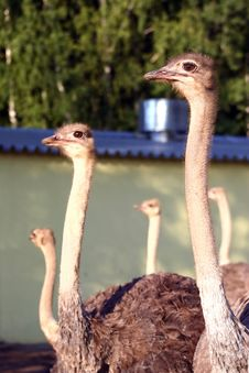 Free Ostriches Stock Images - 6412564
