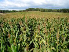 Free Field Of Corn Stock Photo - 6412820