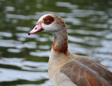 Free Egyptian Goose Royalty Free Stock Photo - 6413105