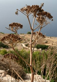 Free Dried Plant In Dingli, Malta Stock Images - 6413524