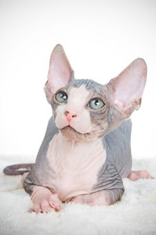 Free Attentive Sphinx Kitten Stock Images - 6413914