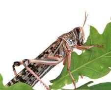 Free Locust Stock Photography - 6414002
