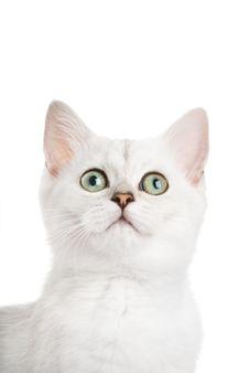 Free Beautiful British Kitten Stock Image - 6414141
