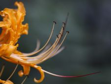 Lycoris Radiata Royalty Free Stock Photo