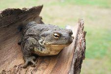 Free European Common Toad Bufo Bufo Royalty Free Stock Image - 6414296
