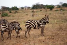 Free Cute Zebras II Royalty Free Stock Photography - 6414897