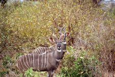 Free Kudu Antelope Stock Image - 6414911