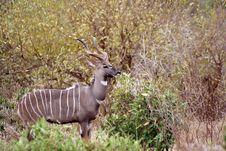 Free Kudu Waiting Stock Photography - 6414932
