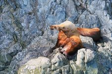 Free Steller Sea Lions Royalty Free Stock Photography - 6416507