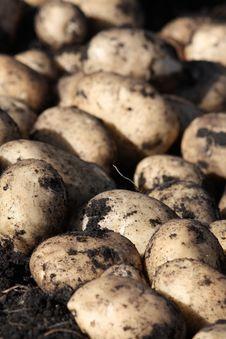 Free White Potatoes Stock Image - 6416551
