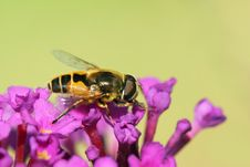Free Hoverfly Stock Images - 6417674