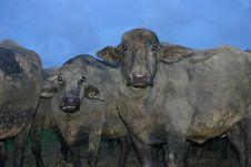 Free Buffalo Royalty Free Stock Photography - 6417777