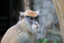 Monkey Patas Stock Photo