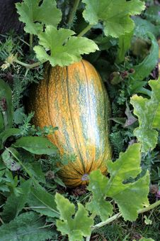 Green Pumpkin Royalty Free Stock Photography