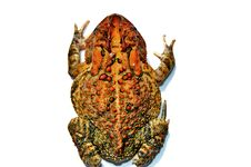 Free Toad Stock Image - 6419031