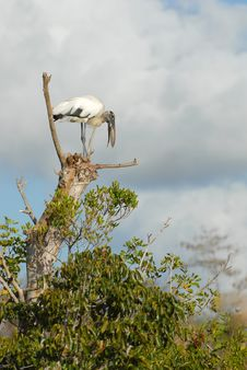 Free Wood Stork Stock Image - 6419141