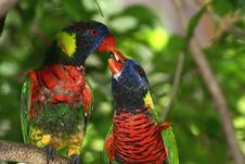 Free Kissing Rainbow Lorikeets Royalty Free Stock Images - 6419429