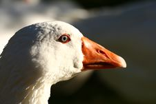 Free Snow Goose Royalty Free Stock Photography - 6419547