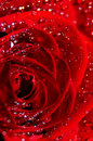 Free Red Rose Stock Photo - 6420710