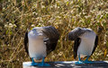 Free Couple Of Blue-footed Birds Royalty Free Stock Photo - 6421855