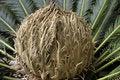 Free Budding Date Palm Royalty Free Stock Photos - 6429488