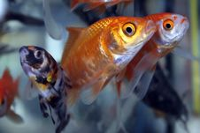 Free Gold Fishes Stock Images - 6420054