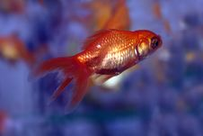 Free Gold Fishes Royalty Free Stock Photography - 6420057