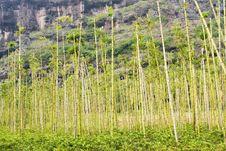 Free Bamboo Royalty Free Stock Image - 6420646