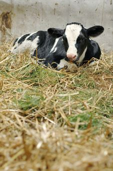 Free Newborn Calf In Hay Stock Photo - 6421600