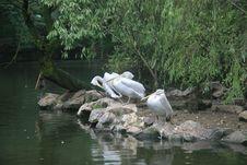 Free China S Hangzhou Zoo_Pelicans Stock Photography - 6421622