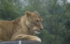 Free Femail Lion Stock Images - 6421684