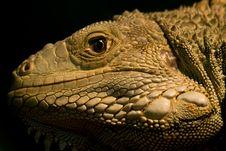 Free Iguana Royalty Free Stock Photo - 6422535