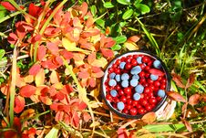 Free Wild Berries Stock Photos - 6422803