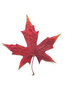 Free Maple Leaf Royalty Free Stock Images - 6422919