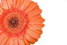 Free Orange Gerbera With Drops Of Wate Stock Images - 6423344
