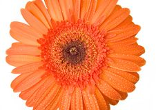 Orange Gerbera With Drops Of Water Stock Image