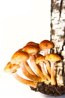 Agaric Honeys On The Stumb Royalty Free Stock Images