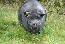 Free Black Pig Stock Photo - 6423970