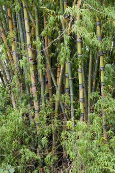 Free Bamboo Woods, Thailand Royalty Free Stock Image - 6423996