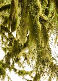Free Green Moss Hanging From Trees Stock Photo - 6424160