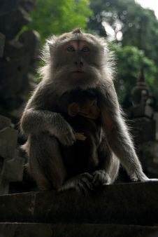 Free Monkey Of The Monkey Forest Temple Stock Image - 6424871