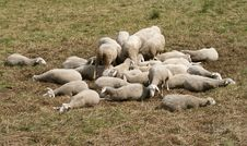 Free Sheeps Royalty Free Stock Photo - 6425585