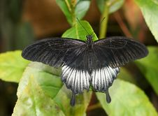 Free Black Butterfly Stock Images - 6426184