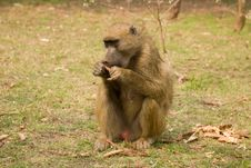 Free Baboon Stock Photos - 6426243