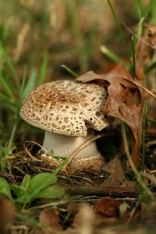 Free Autumn Scene: Little Mushroom With Leaf Stock Photography - 6426282