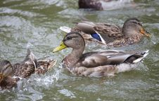 Free Ducks In The Pond Stock Photography - 6426552