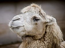 Free Bactrian Camel 8 Stock Photo - 6426640