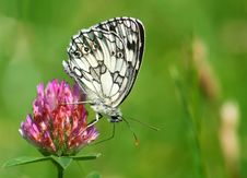 Free Butterfly On A Clover Royalty Free Stock Photo - 6426785